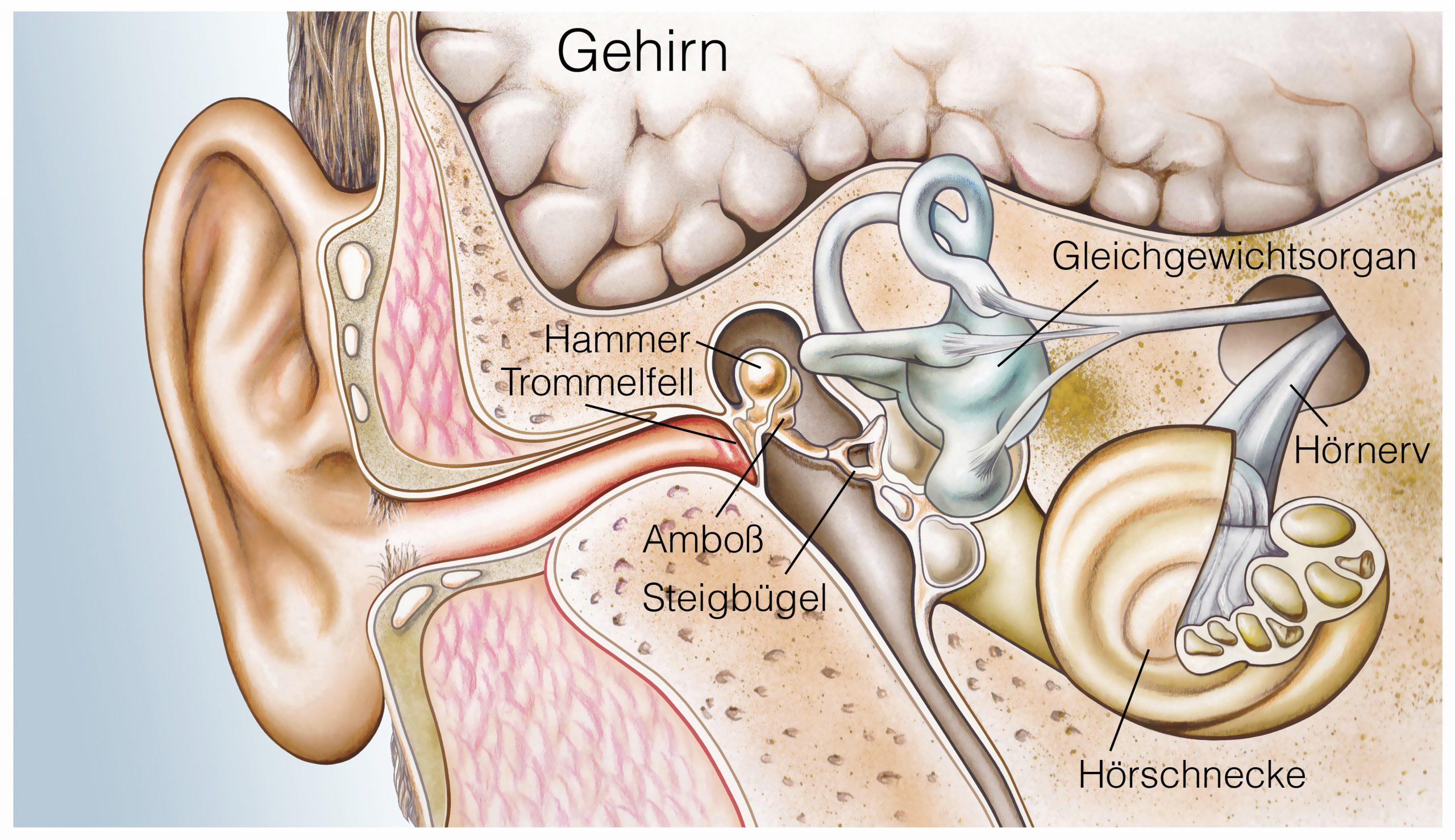 Ohrenschmerzen können in unterschiedlichen Bereichen des Ohrs auftreten. Deswegen ist es hilfreich, die Anatomie zu kennen.
